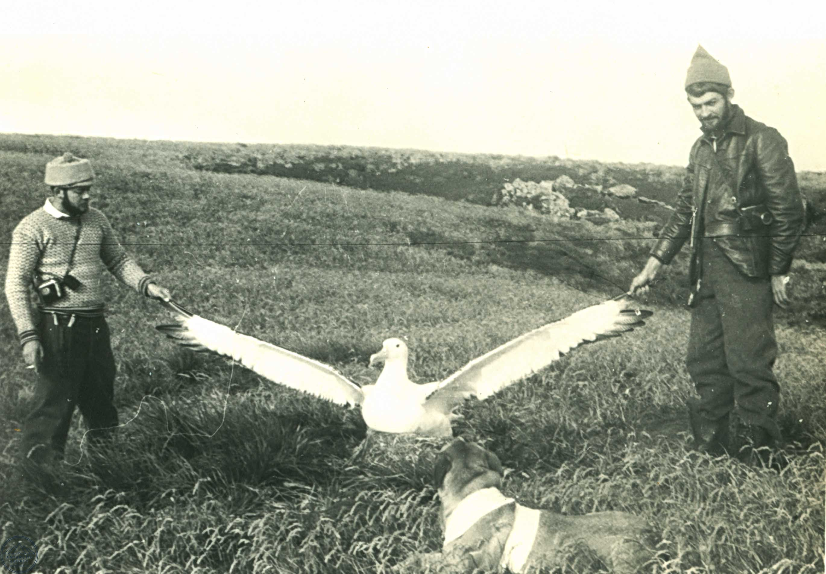 Measuring Wingspan Of Albatross